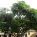 Julie Mango Tree