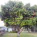 Julie Mango Tree