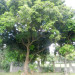 Blackie Mango Tree