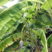 Chinese Banana Tree