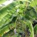 Chinese Banana Tree