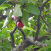 Otaheite Apple