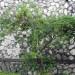 Jimbilin Tree